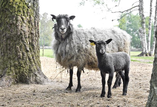 får och lamm