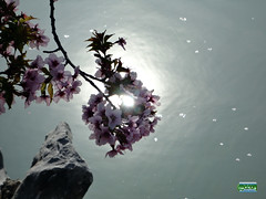 Kurile Cherry blossoms - Chishima-zakura - Prunus nipponica Matsumura var. kurilensis - Rosaceae - Origin Kurile and Sakhalin islands and Japan SC20110511 256 (fotoproze) Tags: canada primavera spring quebec montreal jar printemps tavasz frhling  vr jaro bahar wiosna   gwanwyn forr voorjaar jardinbotaniquedemontreal  kevt proljee 2011    montrealbotanicalgardens  vori musimbunga earrach pomlad primvar    udaberrian maxun  musimsemi