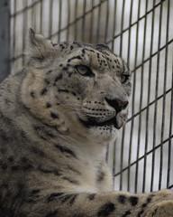 Sn Leopard 2100 (D_wal) Tags: zoo d2x bigcats 80200mm