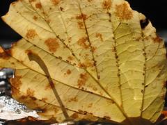 Witch-hazel leaf at the cascades