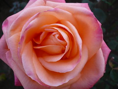 Beauty (Spotted drum  (on & off)) Tags: pink macro green beautiful beauty rose japan leaf explore bloom soe cubism amazingtalent masterphotos goldenmix anawesomeshot aplusphoto superbmasterpiece diamondclassphotographer theunforgettablepictures flowerwatcher macromix wonderfulworldmix macroflowerlovers