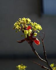 Maple buds (Blue   Petunia) Tags: flowers spring blumen sycamore acer contrejour backlighting frühling gegenlicht blüten aceraceae ahorn april2007 feldahorn