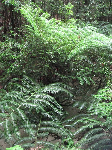 Ancient fern