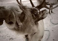 eye contact (northmanimages) Tags: winter nature animals suomi finland reindeer feeding deer lapland creatures mammals arcticcircle saariselka