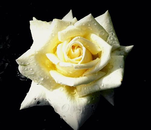 couleurs et signification de la rose, nombres et message porté