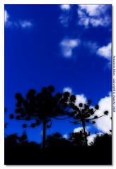 Araucaria blues (huachu/offline for a month or two) Tags: blue trees naturaleza tree nature colors silhouette landscape colours natureza blues natura utata araucaria serra orton serragaucha onblue gaucha utata:project=colorexperiment huachu