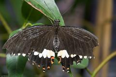 O U T C H ! (Luc Deveault) Tags: canada black butterfly pain quebec papillon qubec luc noire bris photosafarimtl deveault psm150308 lucdeveault