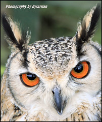 Bengal Eagle Owl (Dysartian) Tags: uk scotland eyes fife britain raptor owl bengaleagleowl birdofprey falconry stirlingshire birdwatcher kirkcaldy dysart aberfoyle blueribbonwinner bathgate supershot flickrsbest magicofnature animalkingdomelite canoneos400d aplusphoto diamondclassphotographer tamronaf18250mm dysartian saltirefalconry scottishwoolcentre