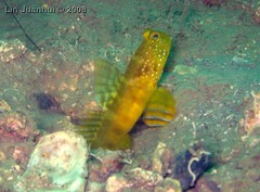 IMG_3985 yellow goby