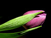 Graceful (itala2007) Tags: pink nature closeup tulip 300views 300 tulipa pinkflowers fineartphotos goldenmix mywinners diamondheart platinumphoto anawesomeshot superbmasterpiece diamondclassphotographer heartawards theunforgettablepictures photostosmileabout platinumheartaward thegoldenmermaid theperfectphotographer goldstaraward itala2007 4mazingorgeoushotsoflowers ahqmacro thedantecircle