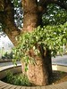 竹山鎮中和里救人老茄苳樹DSCN0191
