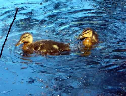 12-Ducklings Scriber Lake