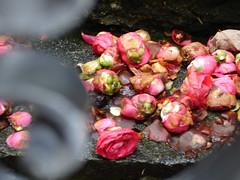 Camellienhof27042008_18 (alstroemeria1) Tags: rot schweiz tessin ascona pflanzen struktur farben theaceae camelliajaponica blten ausflge pflanzensystematisch institutsausflugapril08