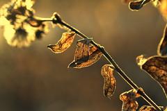 spread kindness (joy.jordan) Tags: leaves branch texture light sunset bokeh nature kindness