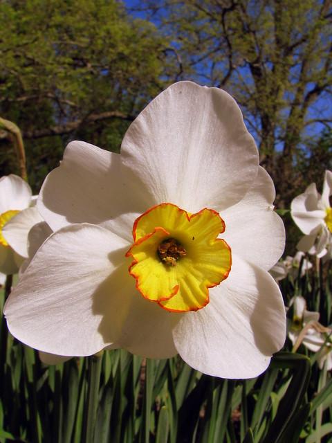 Cheekwood 8: Daffodil
