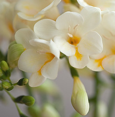 Freesia fantasy... (Lady Haddon) Tags: flowers copyright flower macro canon flora 100mm canon5d allrightsreserved freesia 2011 canonef100mmf28macrousm whitefreesia flowersarebeautiful kimhaddon kimhaddonphotography