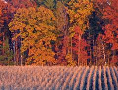 Fall Crop (akahodag) Tags: autumn fall vivid farms goldstar smorgasbord 469 cotcmostinteresting 10faves golddragon mywinners diamondclassphotographer overtheexcellence photosthatrock coloursplosion dragongoldaward