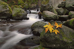 Leaves Of Change (Dan Sherman) Tags: autumn fall water leaves oregon creek portland october pdx portlandoregon columbiarivergorge multnomahcreek columbiarivergorgenationalscenicarea