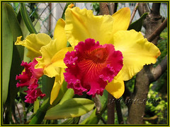 Cattleya hybrid: Blc Ablaze Medal 'U Emperor' at our backyard, Nov. 2007