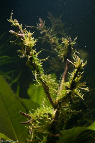 Taiwan Moss on Manzanita