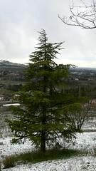pine tree (Terre Contese) Tags: foglie vintage neve uva pino aghi inverno freddo grape vigne vino vento vite pigna fiocco romagna pini uve viti quercia vigna fiocchi vigneti estremo querce terrediconfine