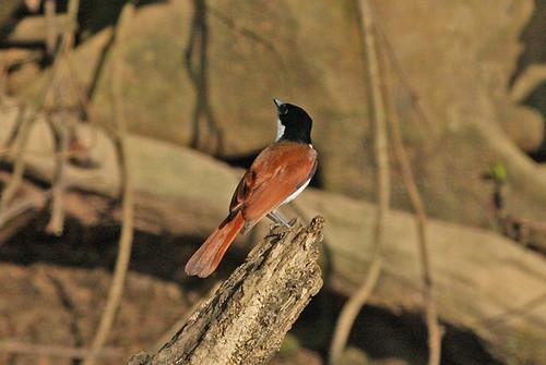 IMG_6092 Shining Flycatcher (Myiagra alecto) female by ajmatthehiddenhouse.