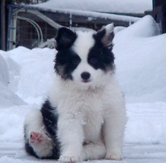 Pretty, pretty baby girl (LisaNH) Tags: snow puppy sheepdog hb1 icelandic icelandicsheepdog disa7 disaturns8 disa8 disadisa