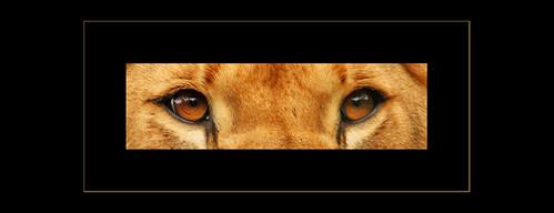 Löwenaugen