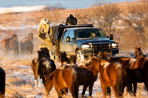 Feeding Horses 074