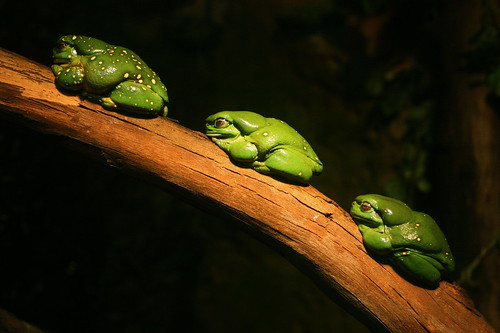 Splendid Three Frogs by maasha.
