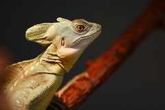 Helmbasilisk (Arie van Tilborg) Tags: fauna zoo rotterdam blijdorp dierentuin diergaarde tilborg arievantilborg