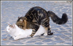 Magic Moment (Nespyxel ( Stefano )) Tags: street city light pet cats brown white love nature colors animals female cat dark fur photography grey funny time humor queen heat mating biology gatto coupli