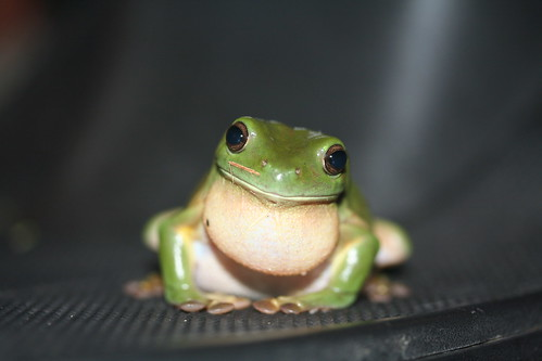 Fare-thee-well, little Green Tree Frog | who am i?