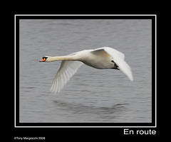 Mute Swan Fly past.jpg (Tony Margiocchi (Snapperz)) Tags: wild bird nature flying swan nikon natural wildlife cambridgeshire avian muteswan birdwatcher cygnusolor naturesfinest blueribbonwinner nikond200 paxtonpits abigfave anawesomeshot impressedbeauty sigma500mmf45