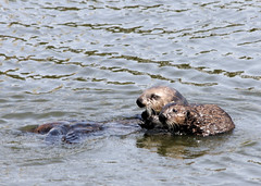Sea Otter (Enhydra lutris) (Vicki & Chuck Rogers) Tags: baby photo mother seaotter mosslanding novideo ef70300mmf456isusm enhydralutris photosonly
