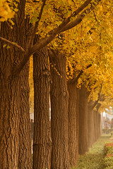 (avirus) Tags: china autumn tree fall nature yellow temple golden ginkgo beijing  beijingchina