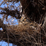 Geneva Owl thumbnail