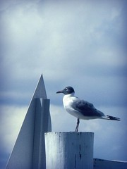 Seagull Geometry (scilit) Tags: ocean blue sky bird nature water animal fauna clouds bay dock florida geometry seagull gull shapes explore mooring birdwatcher onblue themoulinrouge laughinggull mywinner flickrplatinum top20blue theunforgettablepictures brillianteyejewel naturewatcher artlegacy goldsealofquality top20everlasting tup2 thenewacademy fantasticwildlife thebeautifulimagetopaward topaward