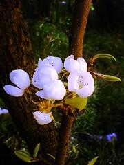 Dolce Bianco (Elanorya) Tags: nature foglie fiori sole terra 2008 albero bianco aria pero contrasto orto blueribbonwinner abigfave excellentphotographerawards llovemypics