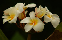 Plumeria are irresistable (Flying Zebra) Tags: flower botanical plumeria brisbane irresistable mtcoottha yellowandwhite
