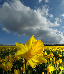 Narcis fields near Hillegom (Bn) Tags: bravo day cloudy pistil daffodil soe topf200 narcis narcissus narcissen bollenstreek themoulinrouge naturesfinest firstquality hillegom dutchclouds dezilk 200faves platinumphoto anawesomeshot aplusphoto naturefinest diamondclassphotographer excellentphotographerawards goldstaraward szembeszk bulbflowerregion narcisfields petated