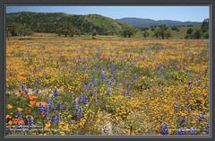 Shell Creek Road wildflowers