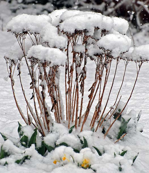 Autumn Joy Sedum in snow