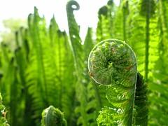 fern (**MIKA**) Tags: fern green canon grn farn biodiversity g7 powershotg7 canonpowershotg7 adlerfarn mikahuettner