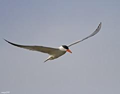 Common Tern in Flight 2 (raineys) Tags: california bird nature wildlife flight commontern specanimal animalkingdomelite raineys impressedbeauty flickrplatinum avianexcellence