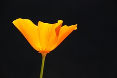 unalloyed (*sapa*) Tags: bravo poppy californianpoppy purity onblack flowerotica sooc unalloyed auselite theygrowlikeweedsexceptwheniplantthem