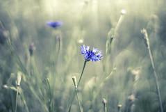 Kornblümchen (heike_hechelmann) Tags: nature bokeh blumen smooth floral flowers macro fog light grass jupiter11