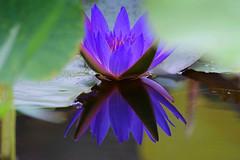 - Water lily - Asia University - Wufeng, Taichung (prince470701) Tags: waterlily taiwan taichung  wufeng  sigma70300mm asiauniversity  sonya850