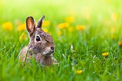 [フリー画像] 動物, 哺乳類, 兎・ウサギ, 201105210500