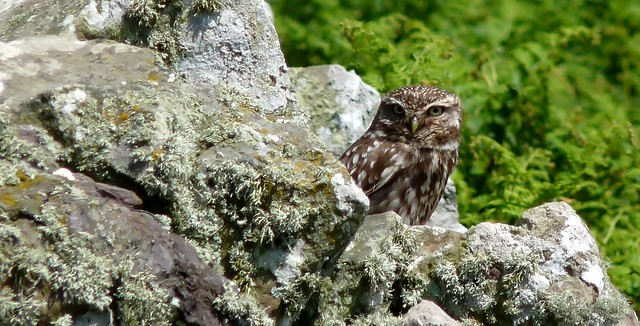 24391 - Little Owl, Skomer